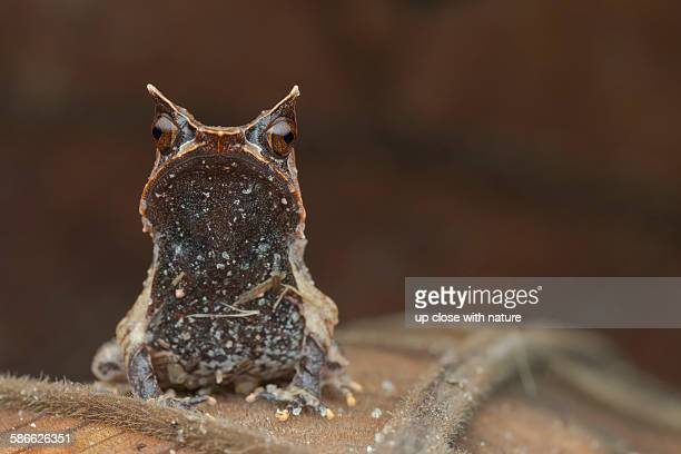 portrait of a malayan horned frog - horned frog stock photos and pictures