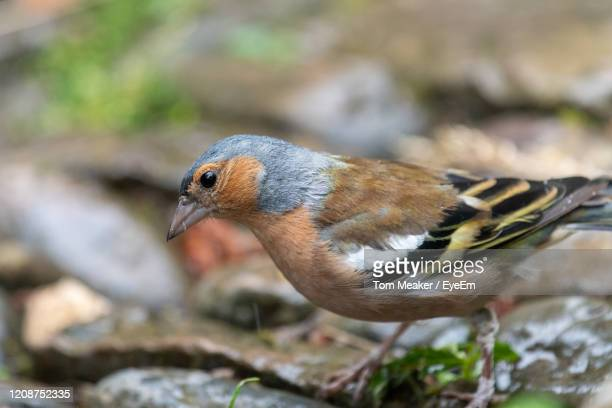 portrait of a male chaffinch  on the ground. - male animal stock pictures, royalty-free photos & images