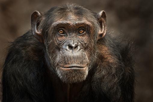Portrait of a male Chimpanzee 686600960