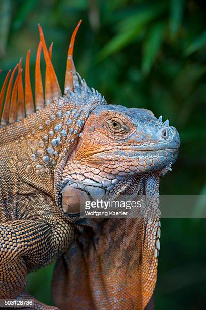 Portrait of a male Green iguana with colorful breeding colors in the rainforest near the Arenal Volcano in Costa Rica