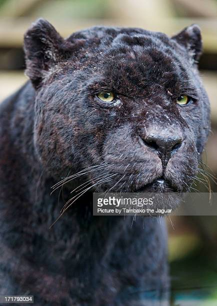 Portrait of a male jaguar