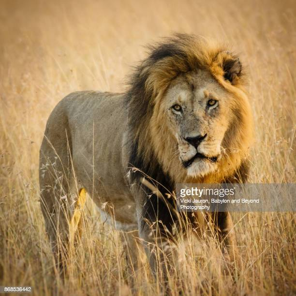 Portrait of a Male Lion in Golden Grass and Light