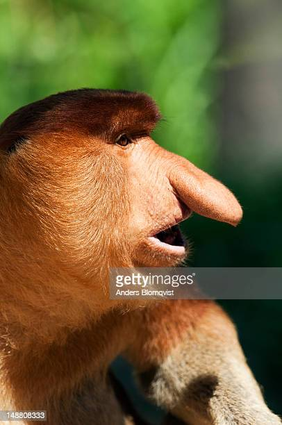 Portrait of a male Proboscis Monkey (Nasalis larvatus) at Lok Kawi Wildlife Park.