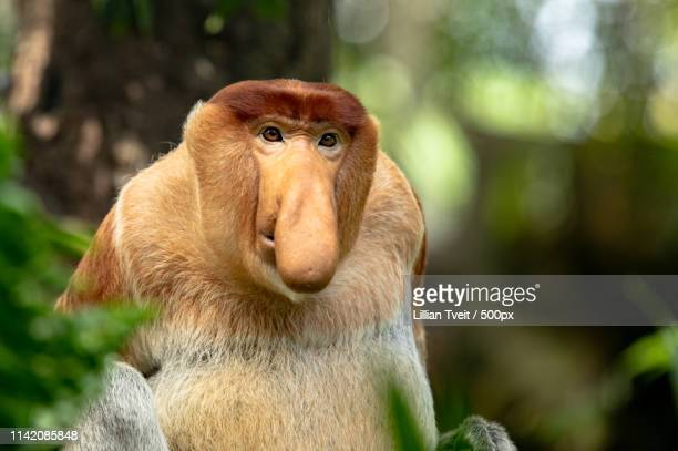 portrait of a male proboscis monkey with big nose - big nose stock photos and pictures