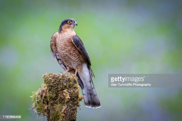 portrait of a male sparrowhawk - sparrow hawk stock pictures, royalty-free photos & images