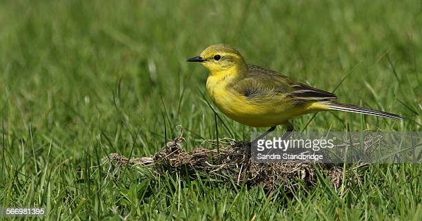 a portrait of a male yellow wagtail. - セキレイ ストックフォトと画像