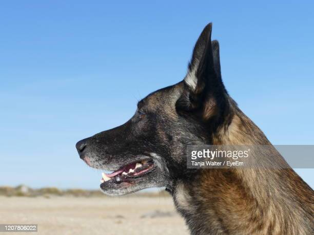 portrait of a malinois dog on the beach - berger belge malinois photos et images de collection