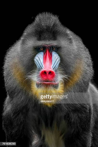 portrait of a mandrill, west java, indonesia - baboon stock pictures, royalty-free photos & images