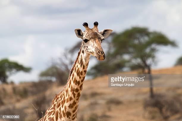 Portrait of a Masai giraffe