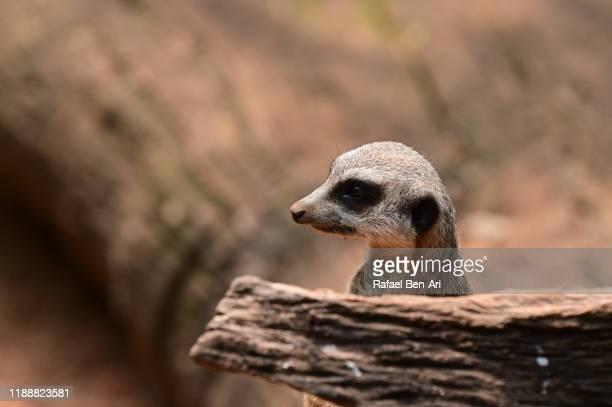 portrait of a meerkat from namibia - rafael ben ari 個照片及圖片檔