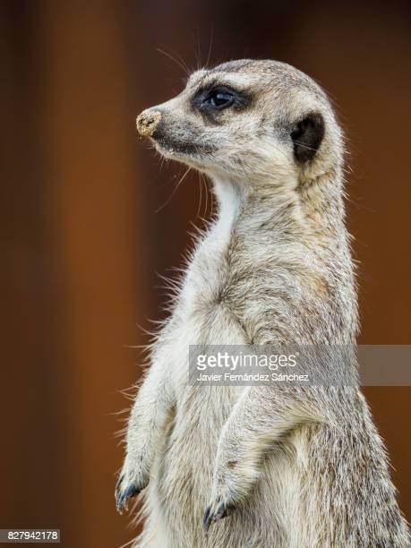 portrait of a meerkat (suricata suricatta) standing. - mongoose stock photos and pictures