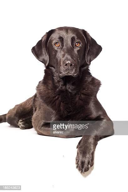 ポートレートのある犬種ラブラドール州