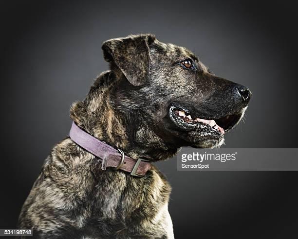 Portrait de chien un mélange les pit-bulls.