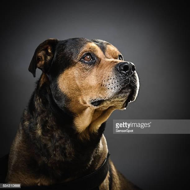 Porträt von einer gemischten rottweiler Hund.