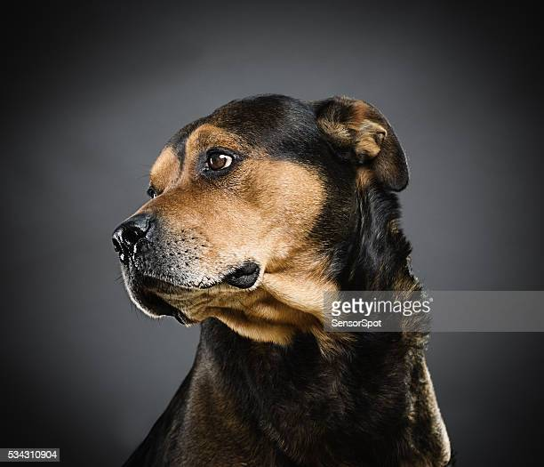 Portrait of a mixed rottweiler dog.