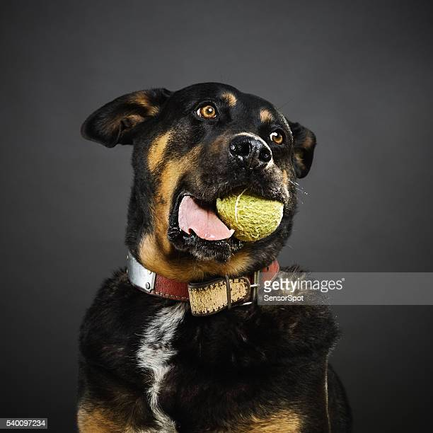 portrait of a mixed rottweiler dog with a tennis ball - ugly dog stock pictures, royalty-free photos & images