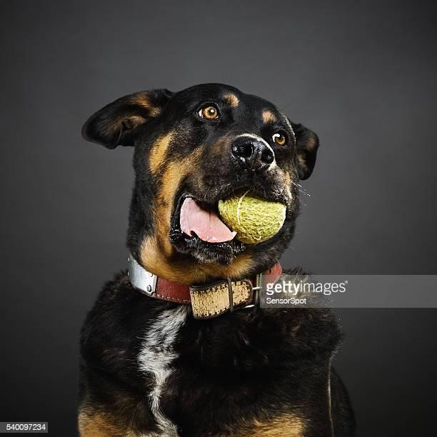 Portrait de chien un mélange les rottweilers avec une balle de tennis