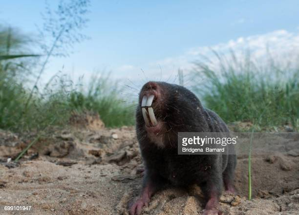 Portrait of a mole-rat, Damaraland, Botswana