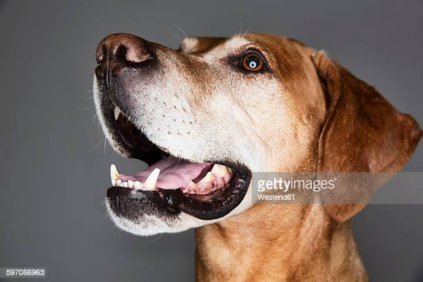 Portrait of a mongrel in front of grey background