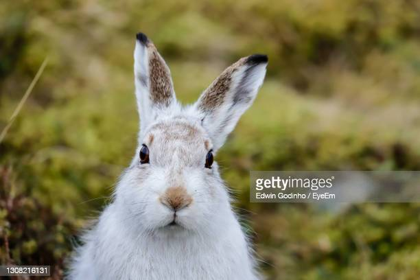 a portrait of a mountain hare - scottish highlands stock pictures, royalty-free photos & images