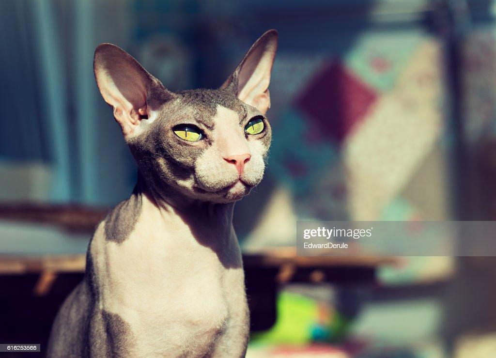 Portrait of a nice sphinx breed cat. : Foto de stock