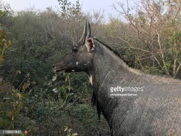 portrait of a nilgai, aravalli biodiversity park, new delhi, india - nilgai fotografías e imágenes de stock