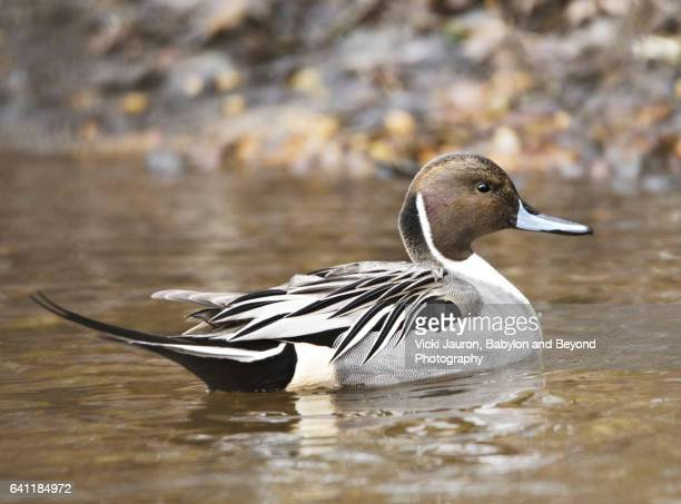 Portrait of a Northern Pintail (Anas acuta) at Massapequa Preserve