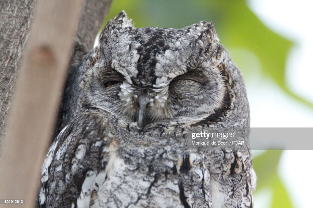 Portrait of a owl : Stock Photo