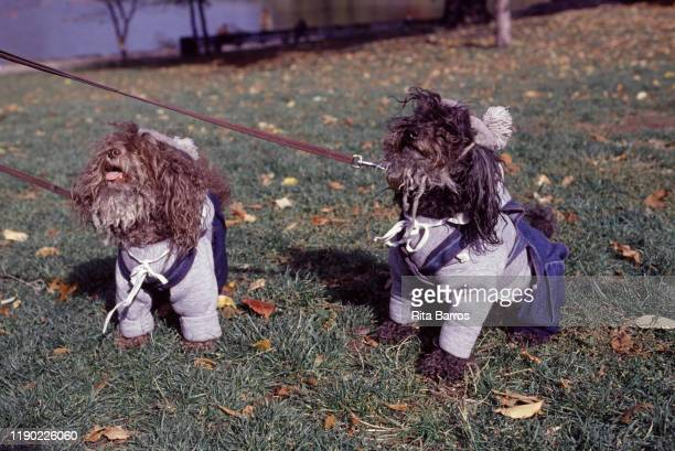 Portrait of a pair of dogs in matching sweatshirts and overalls New York New York 1994 The photo was taken as part of a story on canine fashions