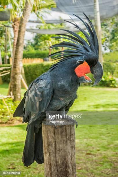 Portrait of a Palm Cockatoo (Probosciger aterrimus), Indonesia