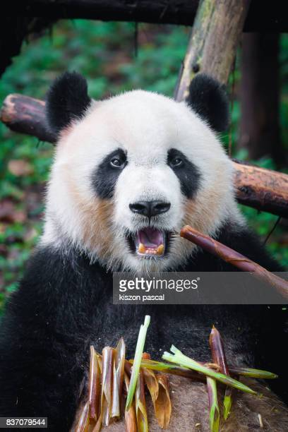 portrait of a panda eating bamboo - giant panda stock photos and pictures