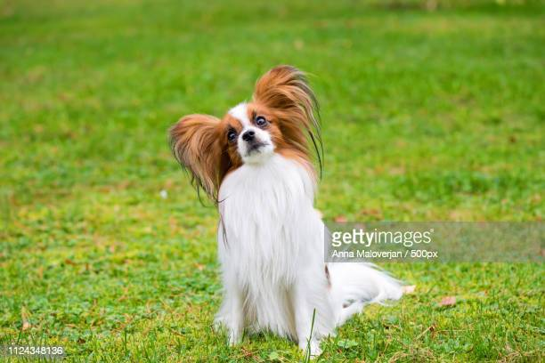 portrait of a papillon purebreed dog - papillon dog stock photos and pictures