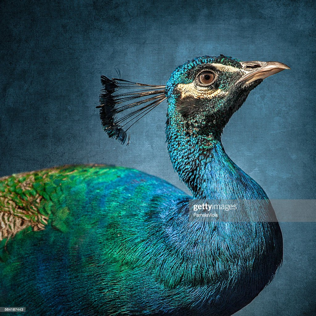 Portrait of a peacock bird