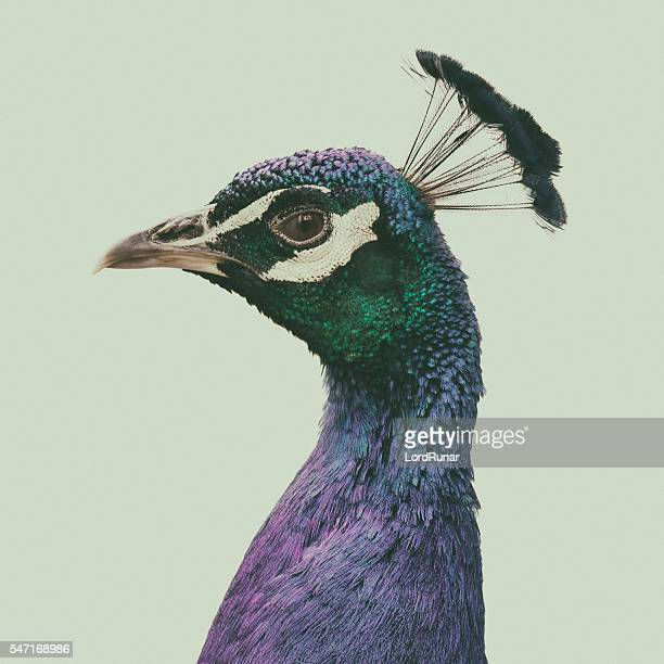 portrait of a peacock - bird stock photos and pictures