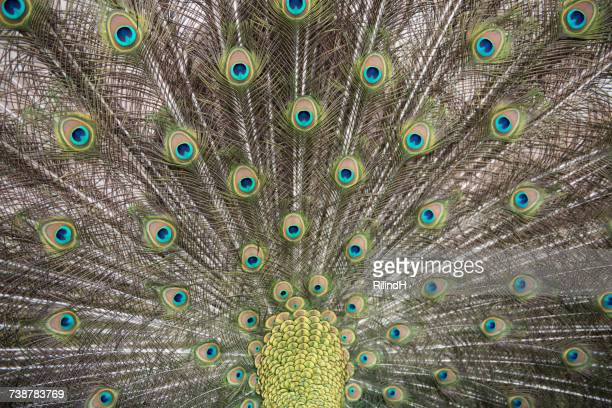 portrait of a peacock - pheasant tail feathers stock pictures, royalty-free photos & images