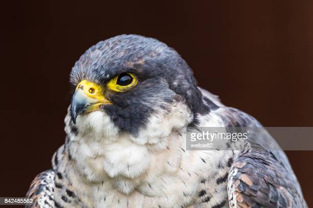 portrait of a peregrine falcon - peregrine falcon stock photos and pictures