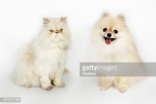 pomeranian and cats portrait of a persian cat and a pomeranian dog stock photo 6558