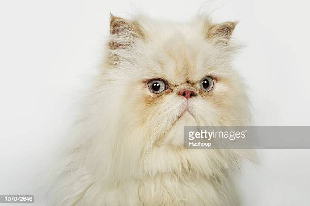 portrait of a persian cat - persian stock photos and pictures
