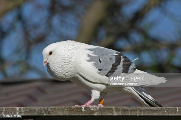 portrait of a pigeon, white dove on the cage, animal, romania - sebastian grey stock pictures, royalty-free photos & images