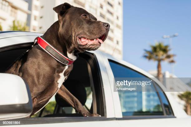 Portrait of a pit bull terrier hanging his head out of a car window.