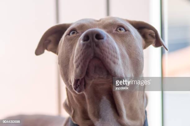 portrait of a pitt bull dog - pit bull terrier fotografías e imágenes de stock