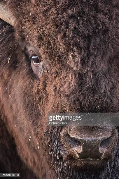 Portrait of a Plains Bison Bull, Grasslands National Park, Saskatchewan, Canada
