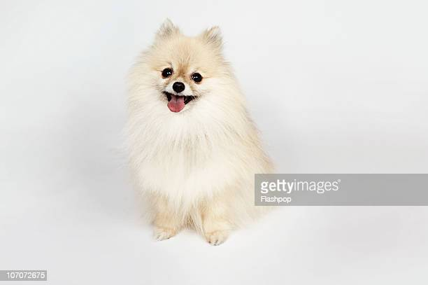 Pomeranian stock photos and pictures getty images portrait of a pomeranian dog thecheapjerseys Image collections