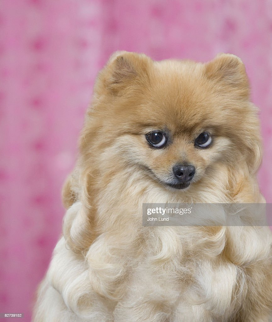 Coy expression on a portrait of a Pomeranian dog.
