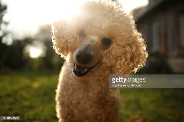 Portrait of a poodle dog smiling