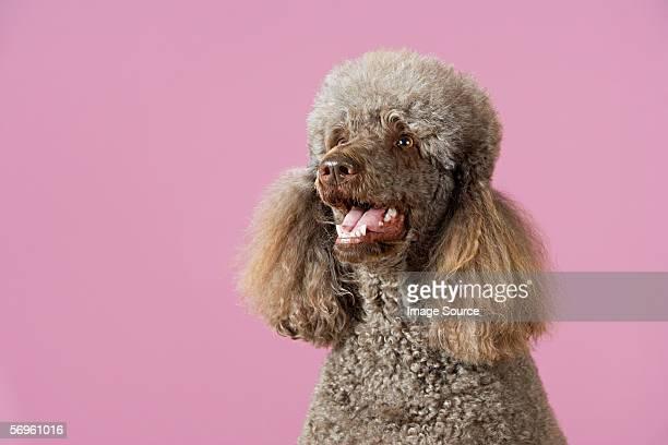portrait of a poodle - poodle - fotografias e filmes do acervo