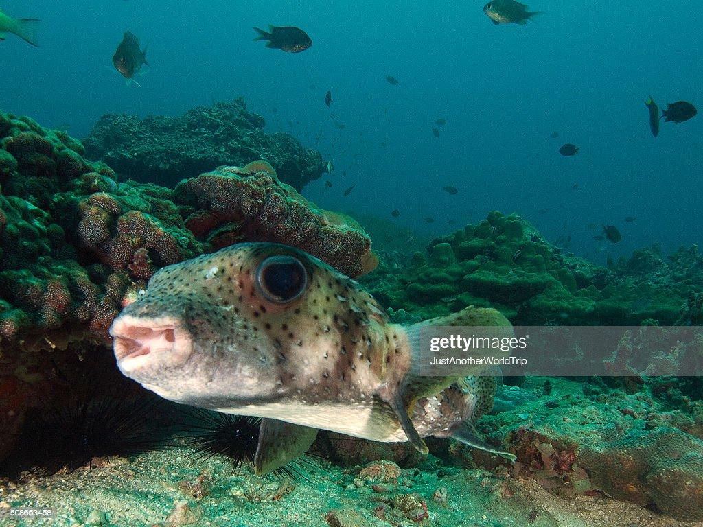 portrait of a porcupine fish : Stock Photo
