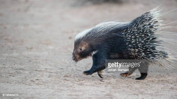 portrait of a porcupine running, botswana - porcupine stock photos and pictures