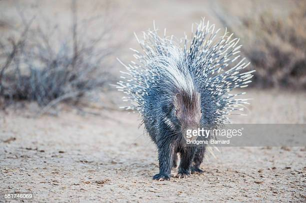 portrait of a porcupine, south africa - porcupine stock photos and pictures