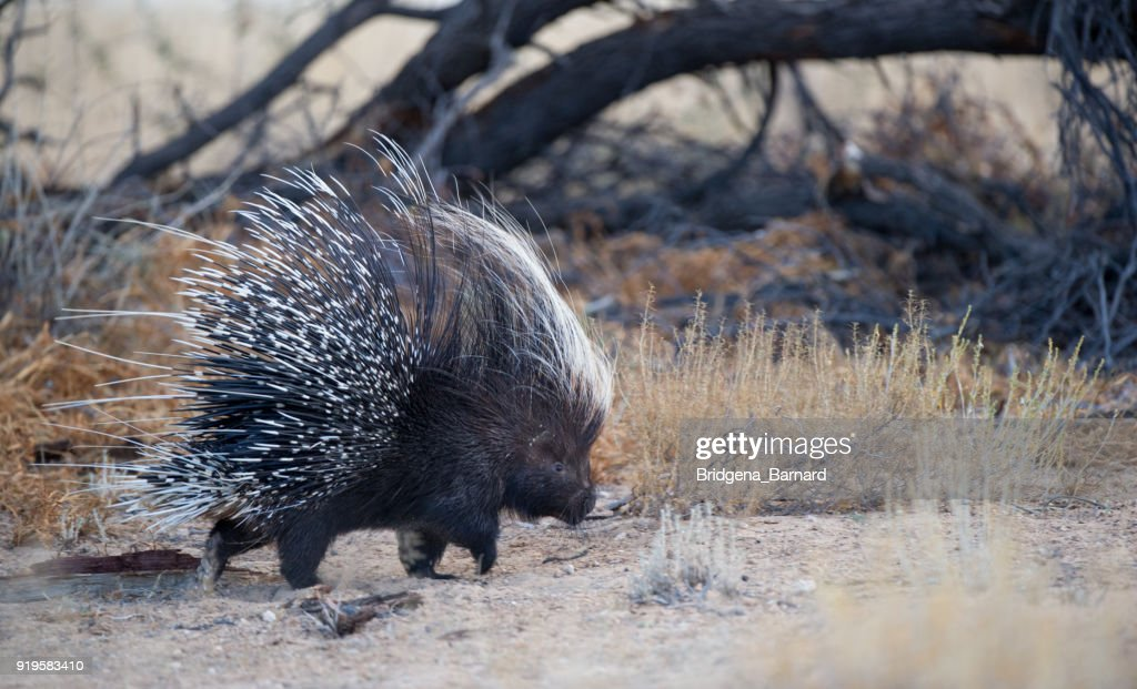 Portrait of a Porcupine, South Africa : Stock Photo